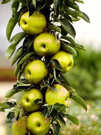 Minifruitbomen ballerina en patiobomen fruitbomen for Nep fruit waar te koop