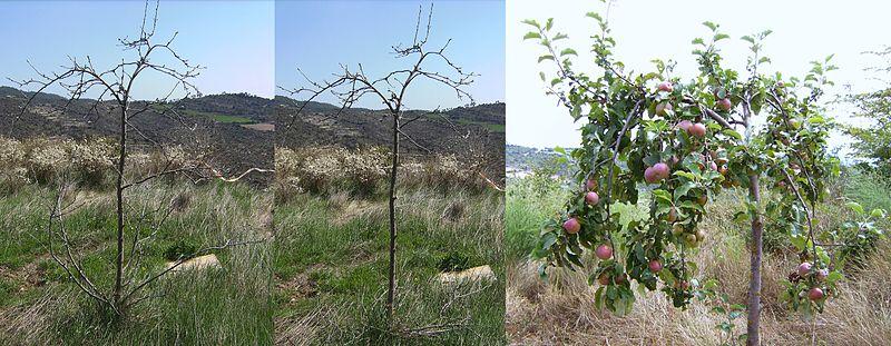 Een appelboom snoeien zorgt voor een hoge productie.