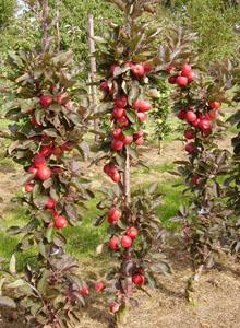 Snoeien van perenboom