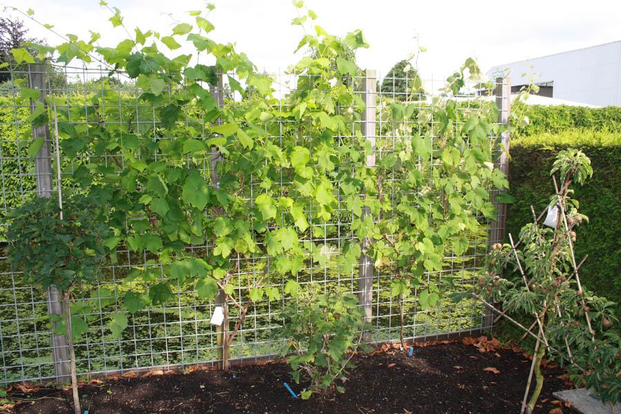 Druivenplanten; een eetbare erfafscheiding - Fruitbomen Informatie ...