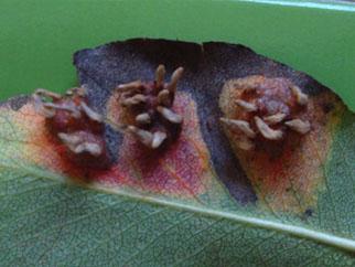 bruine plekken in conifeer