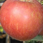 (appel) Cox/Elstar/Golden Delicious