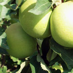 Mini-fruitbomen Appel Goldcats � (zuilvorm)