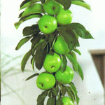 Appel Green Sensation (zuilvorm)