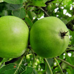 Mini-fruitbomen Appel Greencats � (zuilvorm)