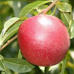 Nectarine Red Gold