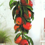 Appel Red Sensation (zuilvorm)